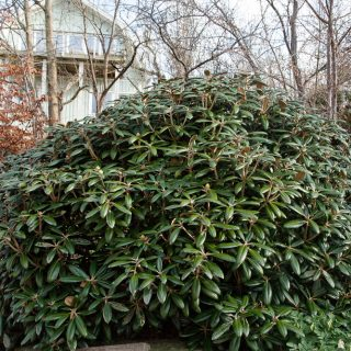 Grusgården - Rhododendron yakushimanum 'Koichiro Wada'