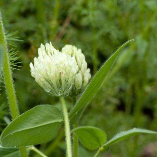 Trifolium trichocephalum - hönsäggsklöver