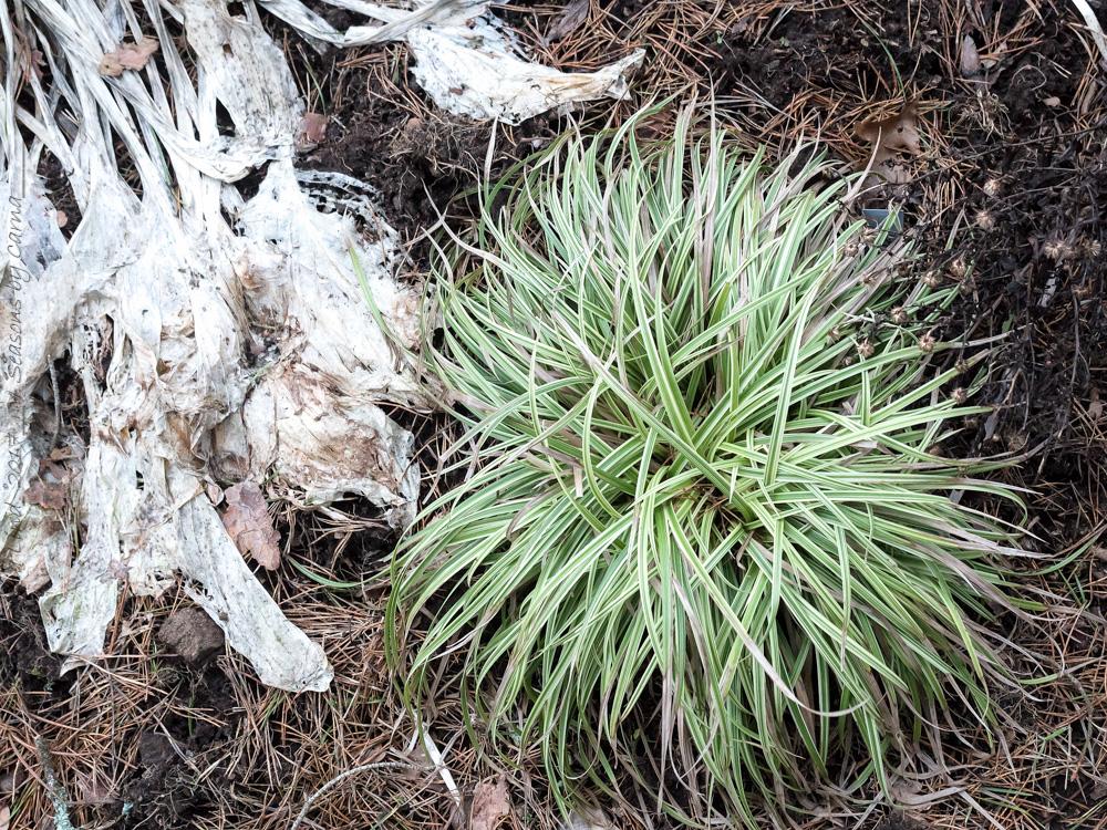 Carex morrowii 'Silver Sceptre'