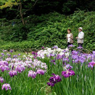 Iris ensata hybrider i Meiji Shrine - Inner Garden