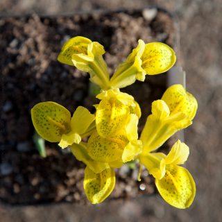 Iris reticulata-grp 'Happiness'