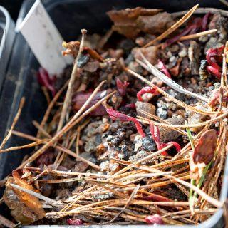 Pionsådd - hittade frön i fickan