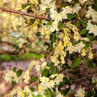 Rhododendron keiskei och Corylopsis spicata