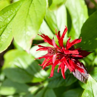 Monarda 'Jacob Cline' - themynta