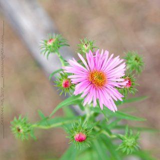 Symphyotrichum novae-angliae 'Rudelsburg' - luktaster