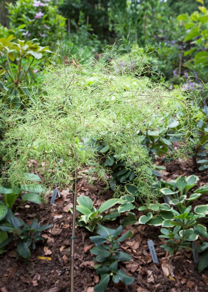 Betula pendula 'Karaca'