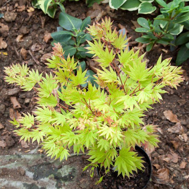 Acer shirasawenum 'MOONRISE'
