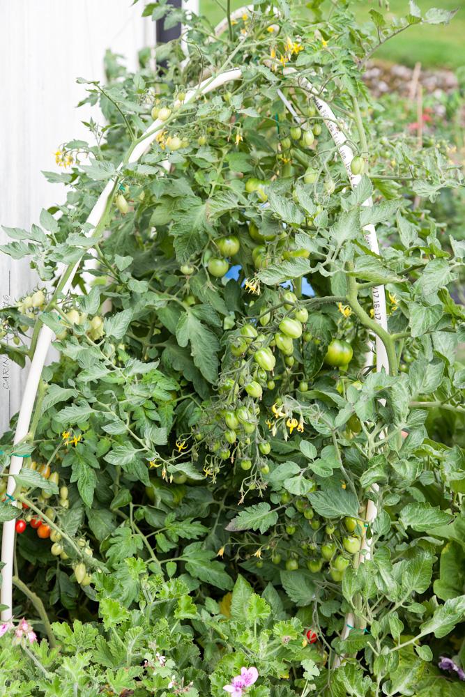 Chili och tomatodling utomhus i murarbaljor