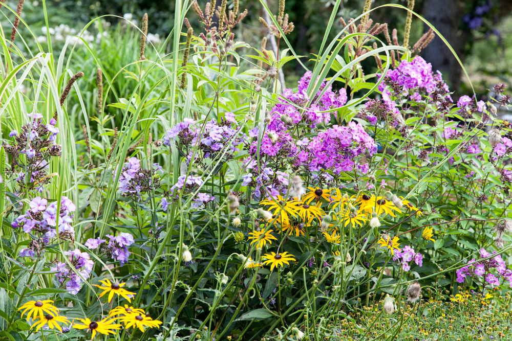 Sensommarblomning - phlox, rudbeckia, gräs och agasteche