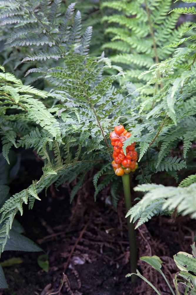 Arum italicum och Polystichum aculeatum