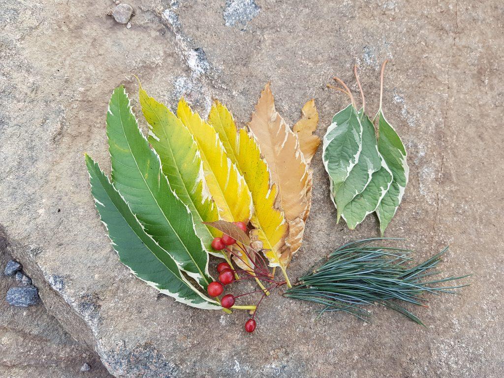 Växtrea - Castanea, Cornus, Malus och tall