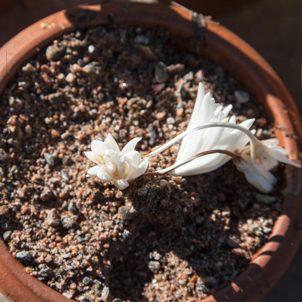 Colchicum autumnale 'Alboplenum'