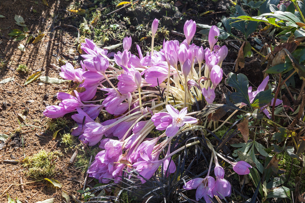 Colchicum autumnale 'The Giant'