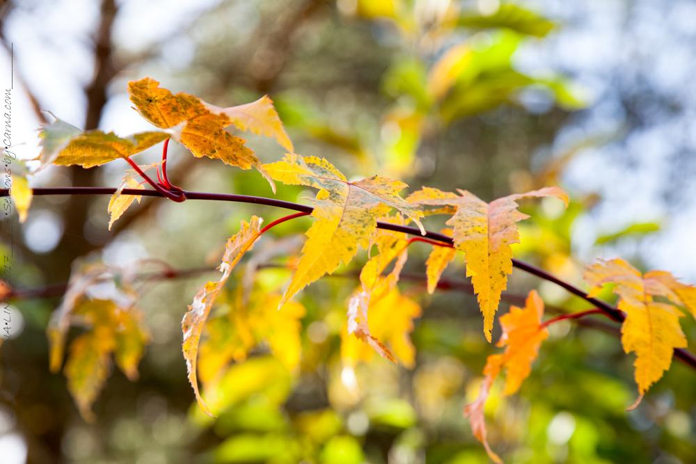 Acer tschonoskii ssp. koreanum