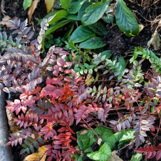 Sorbus reducta - dvärgrönn