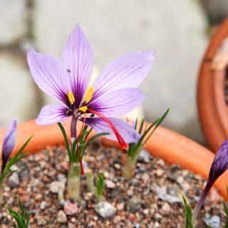 Crocus sativus - saffranskrokus