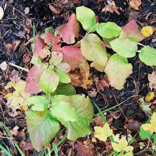 Viburnum lantana 'Aureum' - parkolvon