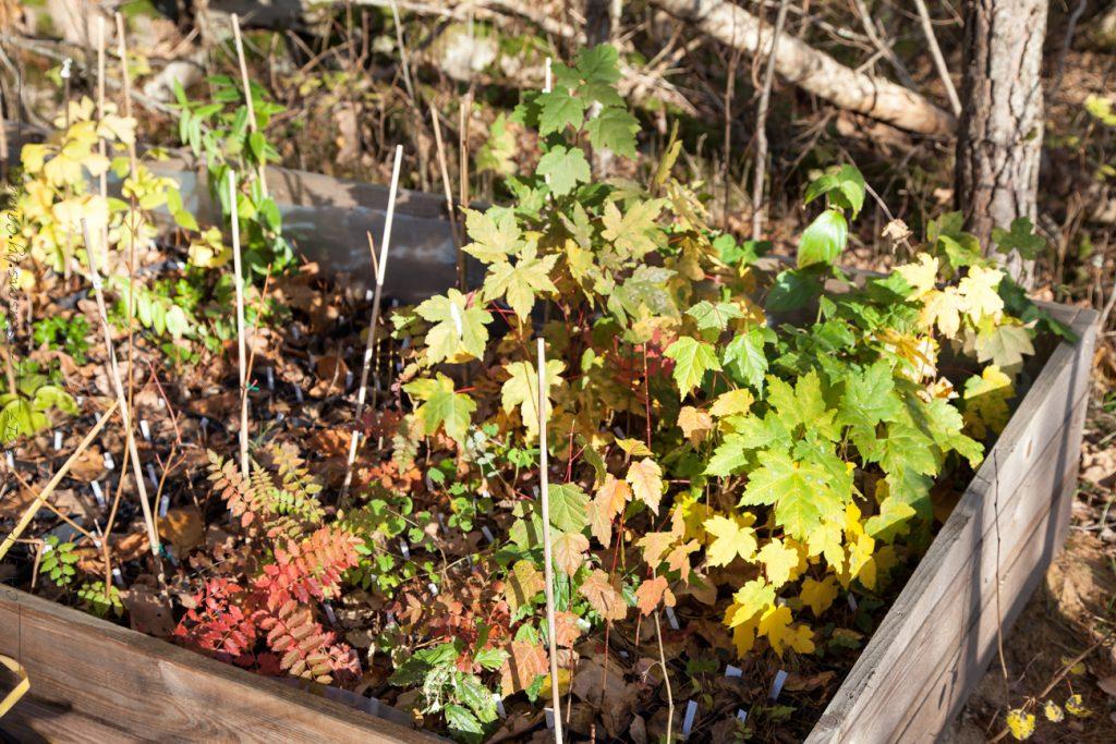 Acer och sorbus med höstfärger