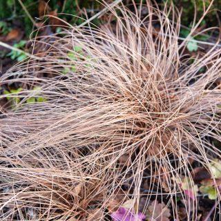 Carex comans 'Kupferflamme' - bronsstarr