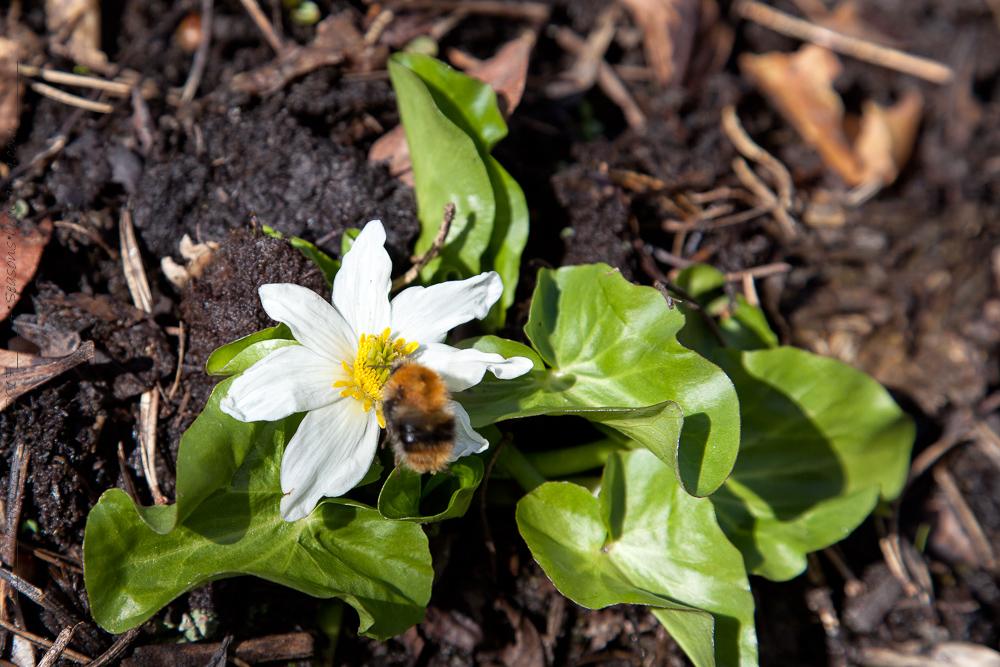 C – perenner jag odlar i min trädgård