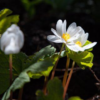 Ljus - Sanguniaria canadensis, blodört