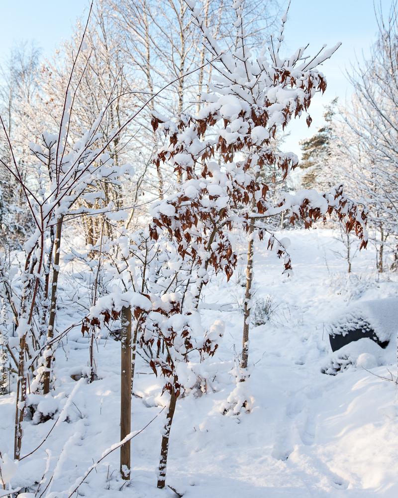 Acer carpinifolium i vinterskrud