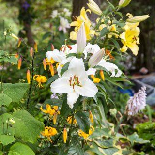 Lilium longiflorum-Orient gruppen - vit