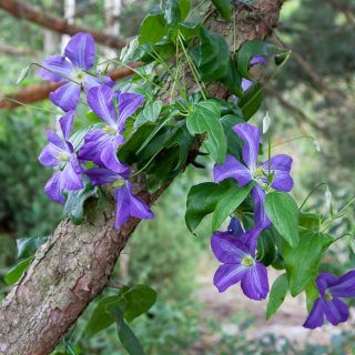 Clematis viticella 'Jenny', viticellaklematis