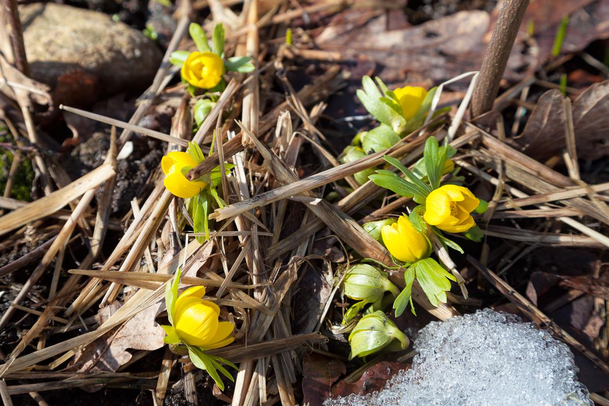 Eranthis, vintergäck – vårens budbärare