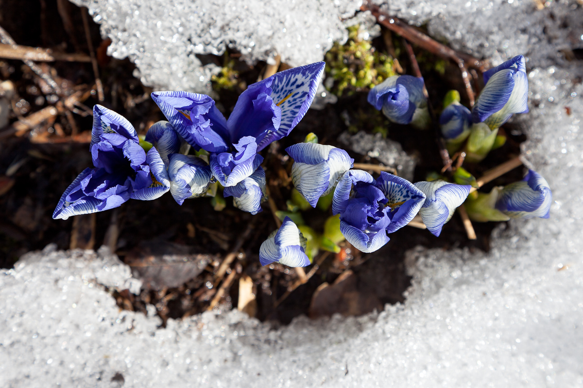 Knölbildande iris