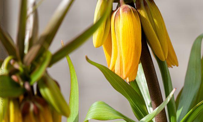 Apelsinskalsorange kejsarkrona en vacker realök