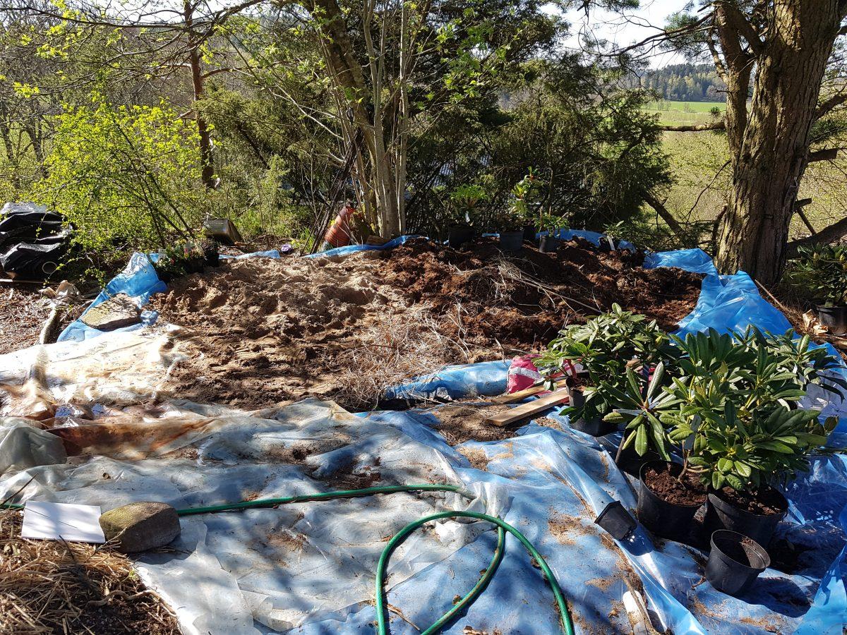 Rhododendronplantering på gång