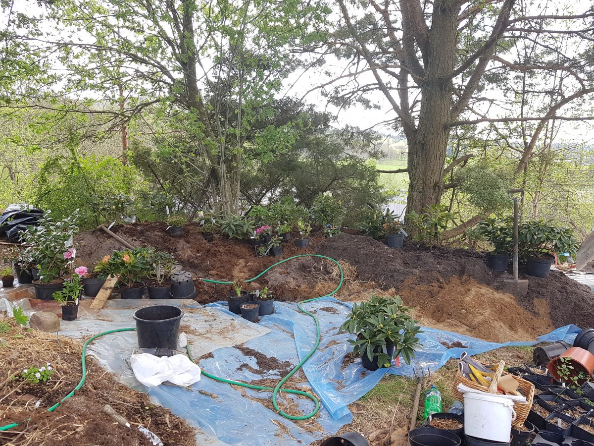 Nya rhododendronbädden torsdag morron