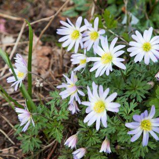Anemone blanda 'Twinkling Eyes'