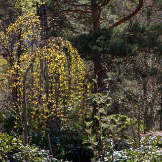 Cercidiphyllum japonica 'Pendula' - hängkatsura