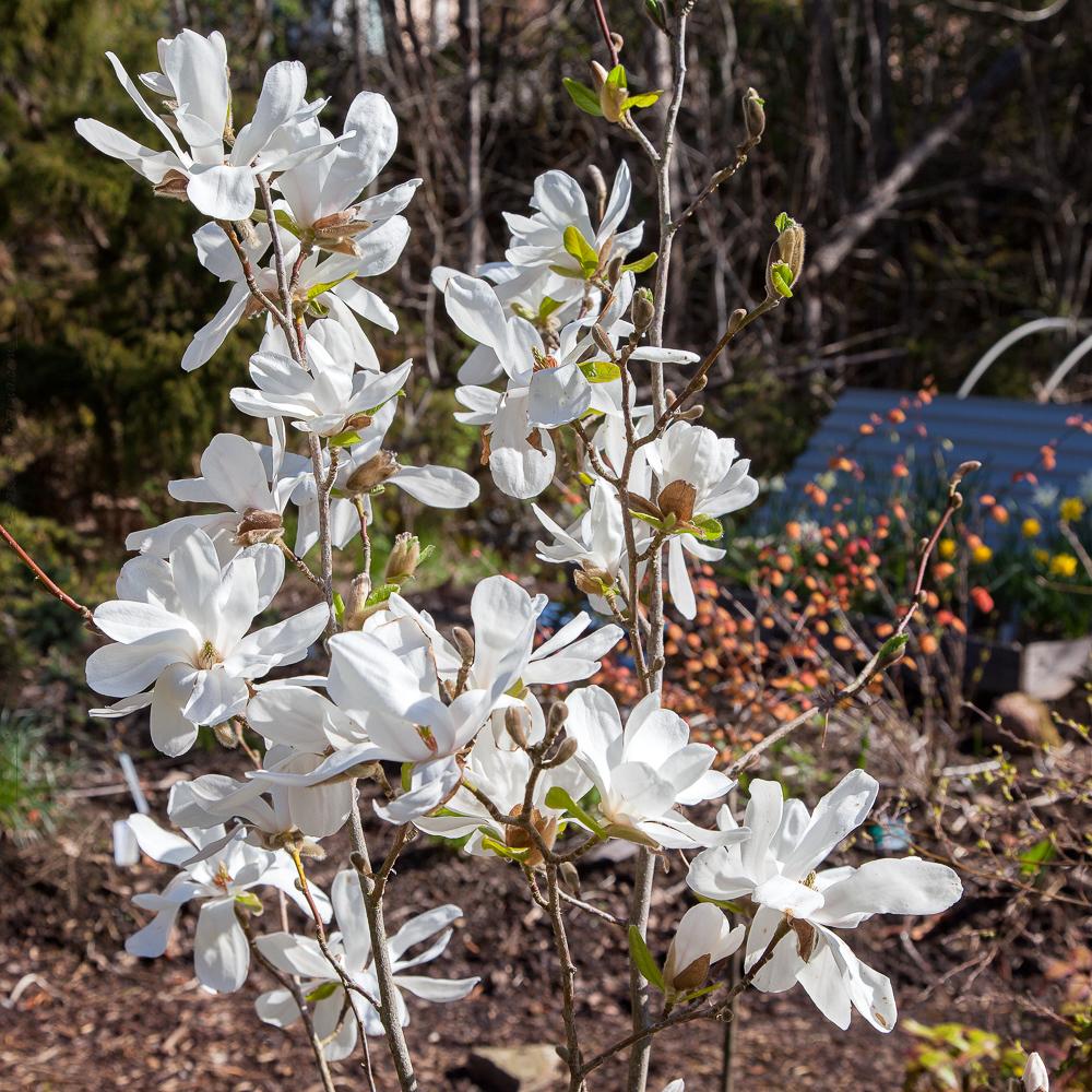 Magnolia x leonardi 'Merrill'