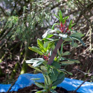Rhododendronarter D-F - Rhododendron decorum