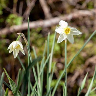 Narcissus Jonquilla-grp 'Lieke' - narciss