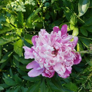 Paeonia lactiflora 'Färdsle sen' - luktpion