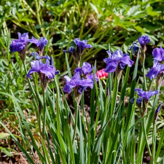 Iris sibirica 'Reprise'