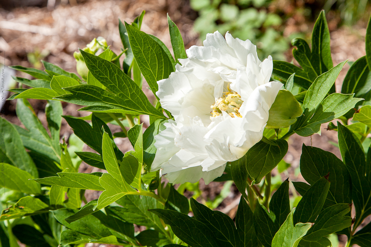 Paeonia itoh 'Wout's White'