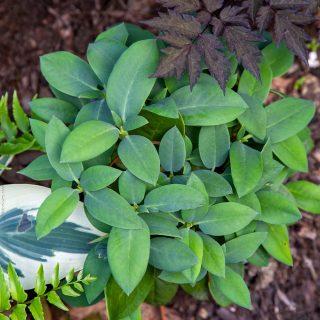 Rhododendron campanulatum ssp aeruginosum 'Blue Ox'