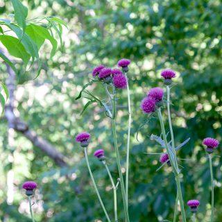 Cirsium rivulare 'Atropurpureum' - bäcktistel