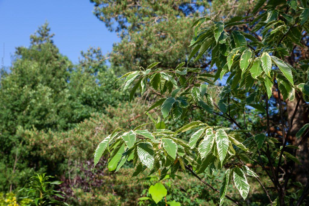 Månskensgult - Castanea sativa 'Variegata' - variegerad äkta kastanj