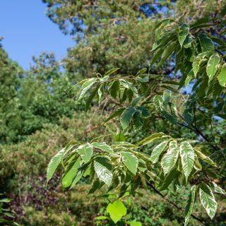 Castanea sativa 'Variegata' - variegerad äkta kastanj