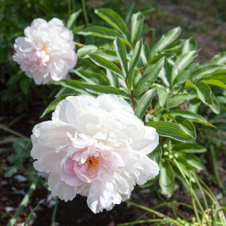 Paeonia lactiflora 'Reine Hortense'