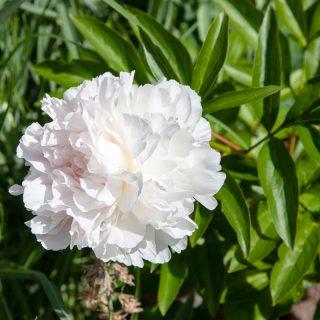 Paeonia lactiflora 'Albert Crousse' - luktpion