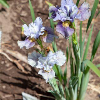Iris sibirica 'Ruffled Romp'
