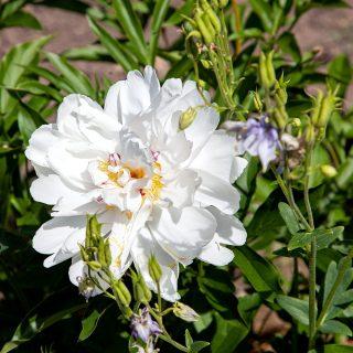 Paeonia lactiflora 'Vogue'