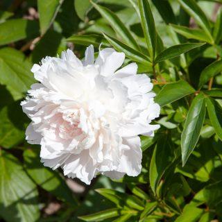 Paeonia lactiflora 'Madylone'